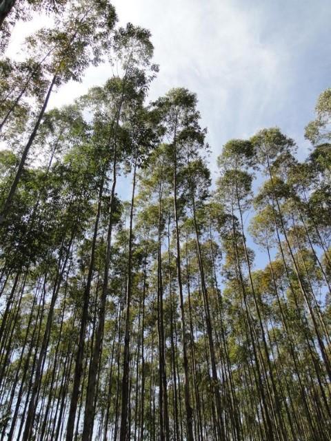 florestas plantadas 25 09 2019