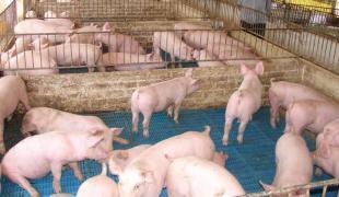 carne suina 23 10 2012
